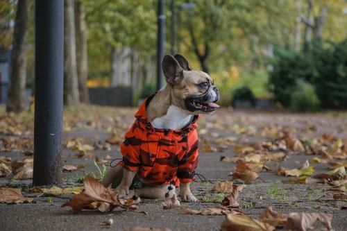 Oblačilo za pse dežni plašček Frajer Francoski buldog Pancho 1