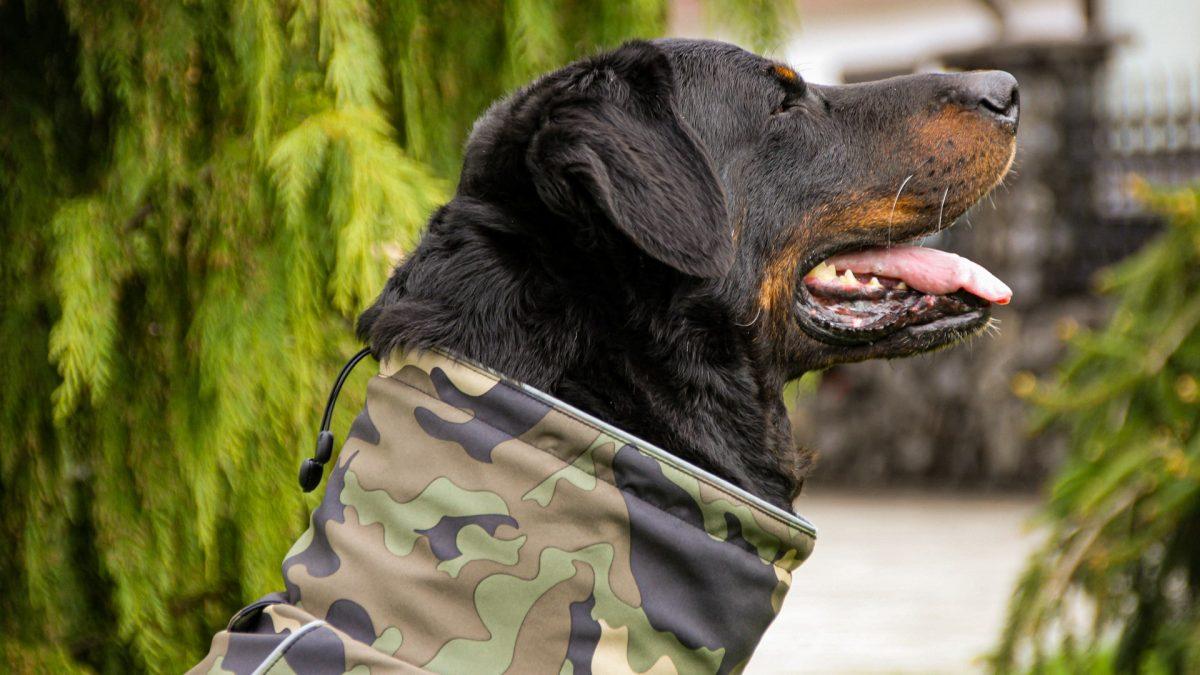 Oblačilo za pse dežni plašček veliki Vojašček 3 Gary Beauceron