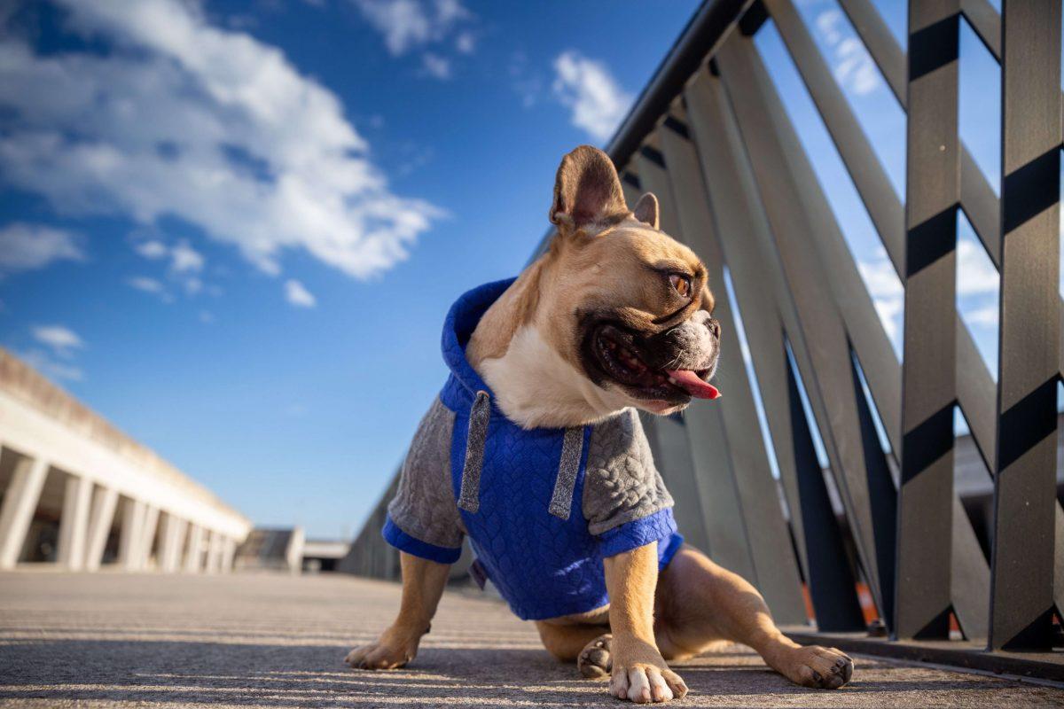 Oblačilo za pse Pancho francoski buldog pasja obleka Kapucar moder