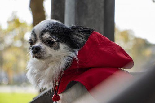 Oblacila za pse Pancho dezni chihuahua plascek Feniks 1