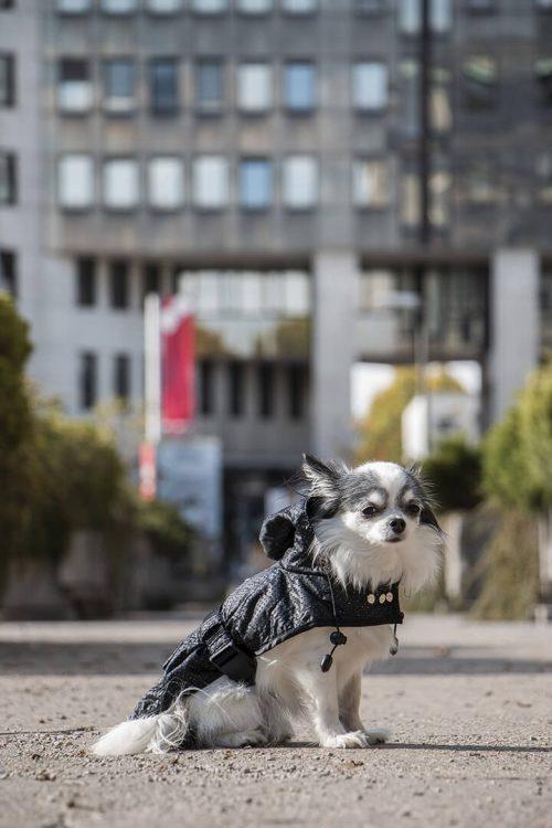 Oblacila za pse Pancho dezni plascek kozmos chihuahua Pancho