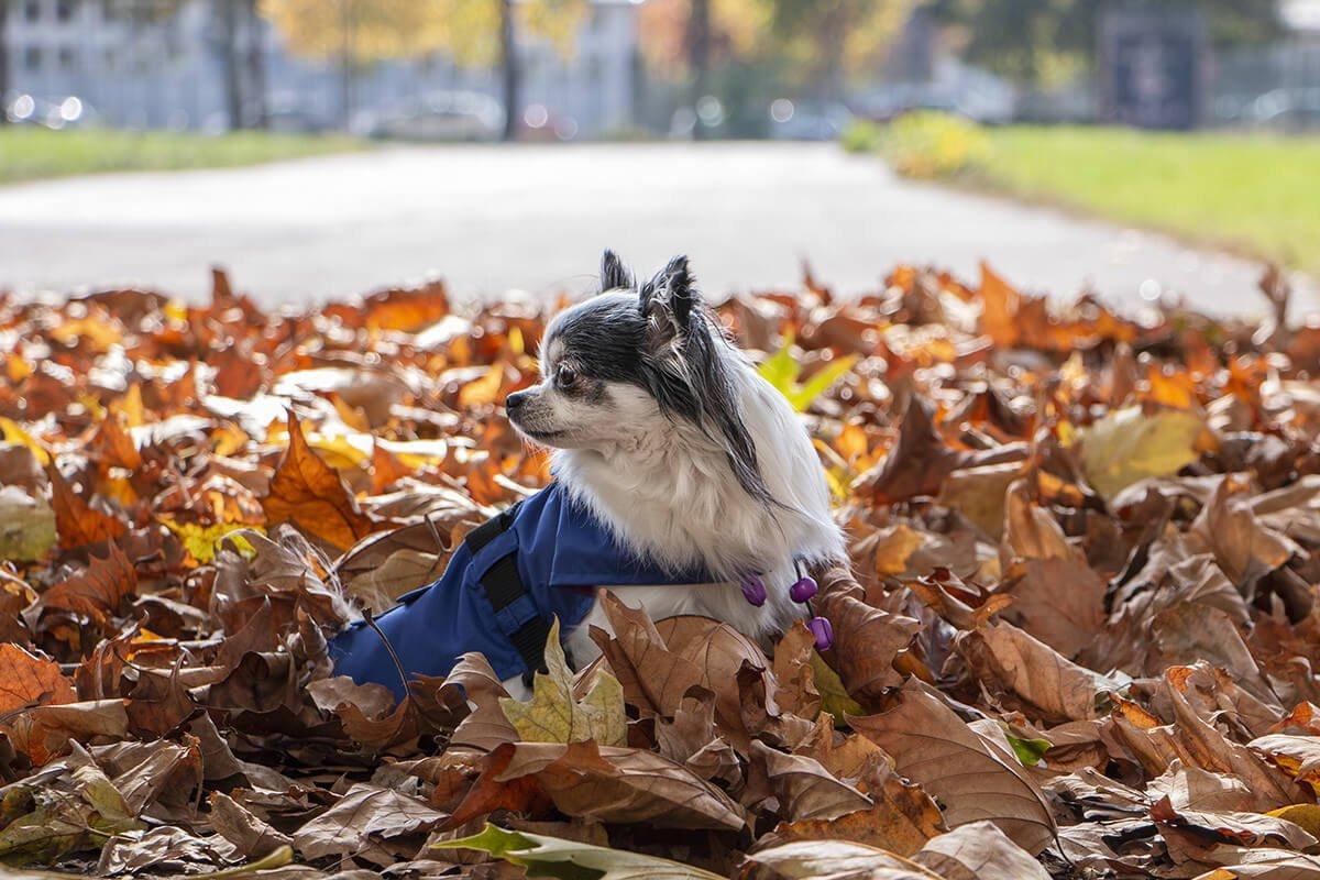 Oblacila za pse Pancho dezni plascek kraljevo velicanstvo chihuahua Pancho 2