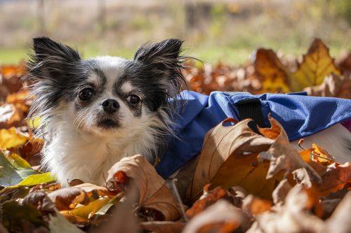 Oblacila za pse Pancho dezni plascek kraljevo velicanstvo chihuahua Pancho 3
