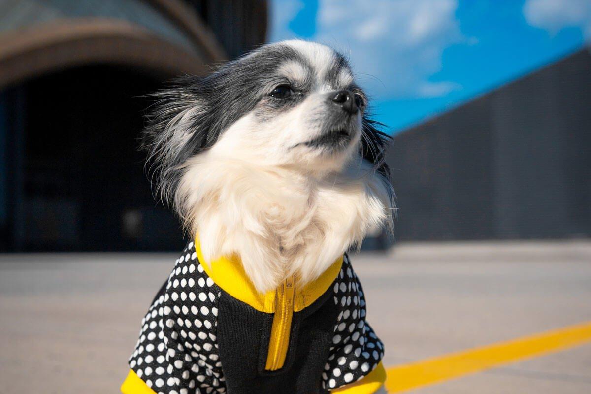 Oblačilo za pse Pancho chihuahua pasja obleka Čebela 3