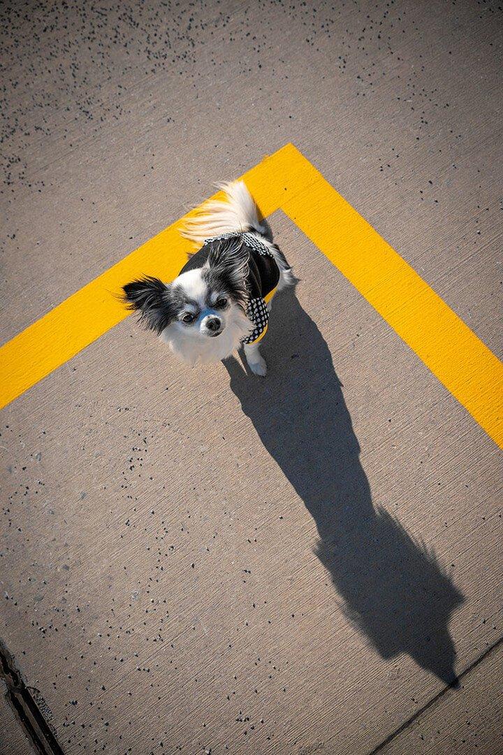 Oblačilo za pse Pancho chihuahua pasja obleka Čebela 2