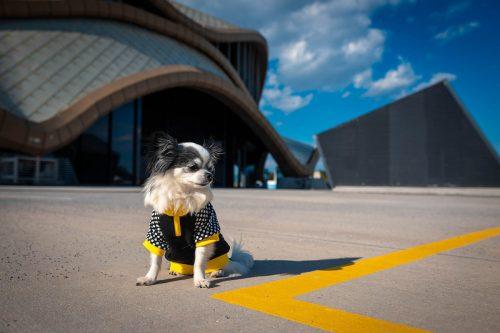 Oblačilo za pse Pancho chihuahua pasja obleka Čebela 1