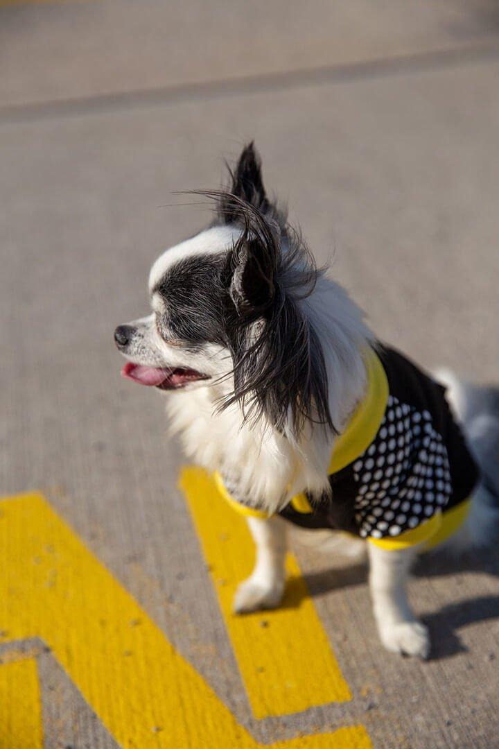 Oblačilo za pse Pancho chihuahua pasja obleka Čebela