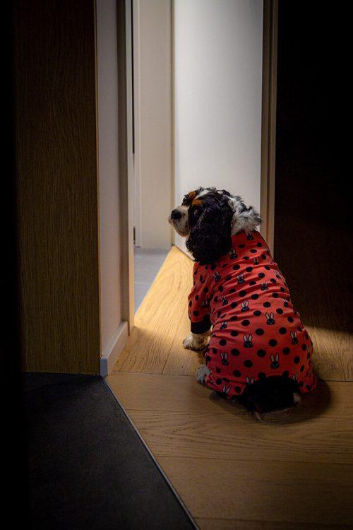 Oblačilo za pse Pancho cavalier king charles spanjel pasja obleka zajcek 1