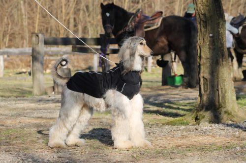 oblacila za pse Pancho afganistanski hrt pasji dezni plasc veliki sef 1