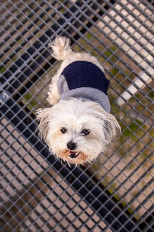 Oblačilo za pse Pancho maltezan pasja obleka trenirko