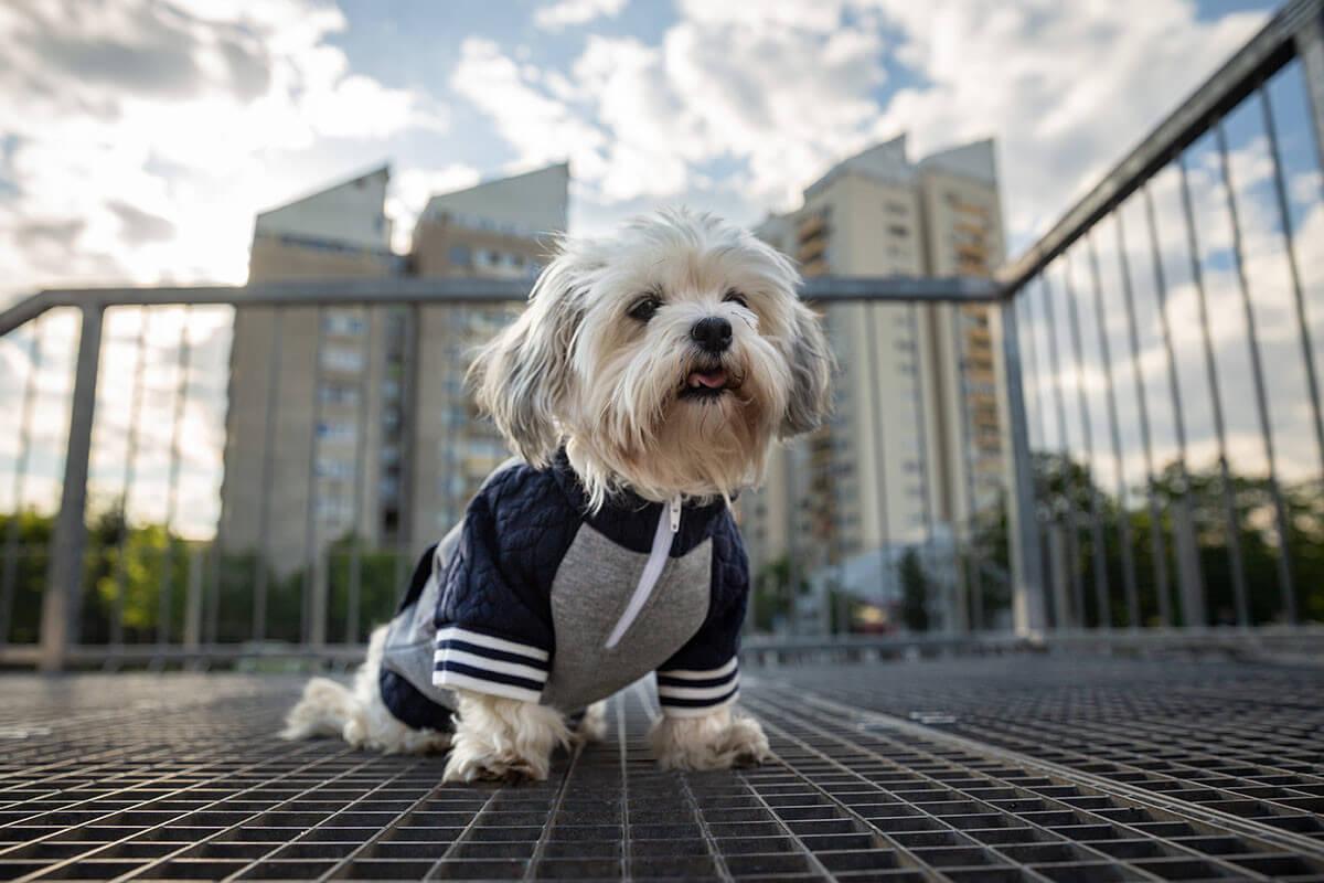 Oblačilo za pse Pancho maltezan pasja obleka trenirko 1